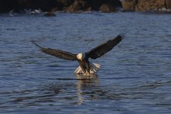 Αμερικανικός φαλακρός αετός σε Όμηρο στοκ φωτογραφία με δικαίωμα ελεύθερης χρήσης