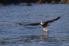 Αμερικανικός φαλακρός αετός σε Όμηρο στοκ εικόνες
