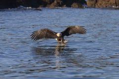 Αμερικανικός φαλακρός αετός σε Όμηρο στοκ εικόνα με δικαίωμα ελεύθερης χρήσης