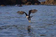 Αμερικανικός φαλακρός αετός σε Όμηρο στοκ εικόνα