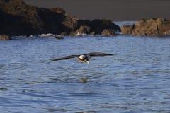 Αμερικανικός φαλακρός αετός σε Όμηρο στοκ φωτογραφία