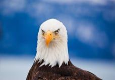 Αμερικανικός φαλακρός αετός Στοκ Εικόνα