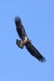 αμερικανικός φαλακρός αετός Στοκ εικόνα με δικαίωμα ελεύθερης χρήσης