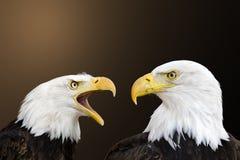 αμερικανικός φαλακρός α&e Στοκ Εικόνες
