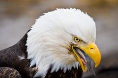 αμερικανικός φαλακρός α&e Στοκ εικόνα με δικαίωμα ελεύθερης χρήσης