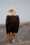 αμερικανικός φαλακρός α&e Στοκ φωτογραφία με δικαίωμα ελεύθερης χρήσης