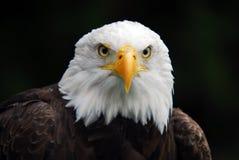 αμερικανικός φαλακρός α&e Στοκ Φωτογραφίες