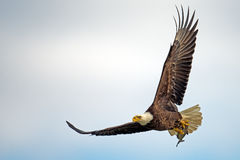 Αμερικανικός φαλακρός αετός κατά την πτήση με τα ψάρια Στοκ Φωτογραφίες
