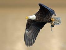 Αμερικανικός φαλακρός αετός με τα ψάρια Στοκ Φωτογραφίες