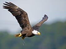 Αμερικανικός φαλακρός αετός με τα ψάρια Στοκ εικόνα με δικαίωμα ελεύθερης χρήσης