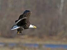 Αμερικανικός φαλακρός αετός με τα ψάρια Στοκ φωτογραφίες με δικαίωμα ελεύθερης χρήσης