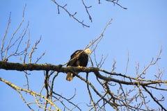Αμερικανικός φαλακρός αετός που προσέχει προσεκτικά Στοκ φωτογραφίες με δικαίωμα ελεύθερης χρήσης