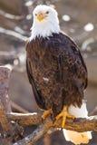 Αμερικανικός φαλακρός αετός στην κάθετη εικόνα Στοκ Εικόνες