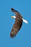 Αμερικανικός φαλακρός αετός Στοκ εικόνες με δικαίωμα ελεύθερης χρήσης