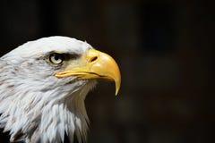 Αμερικανικός φαλακρός επικεφαλής πυροβολισμός αετών Στοκ φωτογραφία με δικαίωμα ελεύθερης χρήσης
