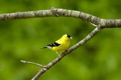 Αμερικανικό αρσενικό tristus Goldfinch Carduelis Στοκ Εικόνες