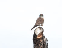 αμερικανικό γεράκι Στοκ φωτογραφία με δικαίωμα ελεύθερης χρήσης