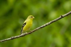 Αμερικανικό θηλυκό tristus Goldfinch Carduelis Στοκ Φωτογραφία