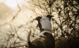 Αμερικανικό κουτάβι τεριέ πίτμπουλ στοκ εικόνες