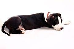 Αμερικανικό κουτάβι τεριέ Staffordshire Στοκ εικόνα με δικαίωμα ελεύθερης χρήσης