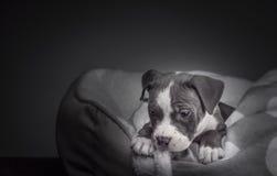 Αμερικανικό κουτάβι Pitbull Στοκ φωτογραφία με δικαίωμα ελεύθερης χρήσης
