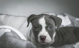 Αμερικανικό κουτάβι Pitbull Στοκ εικόνα με δικαίωμα ελεύθερης χρήσης