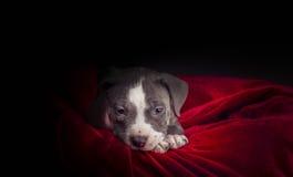 Αμερικανικό κουτάβι Pitbull Στοκ Εικόνα
