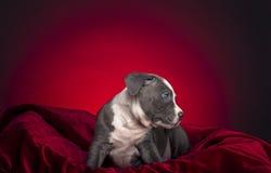 Αμερικανικό κουτάβι Pitbull Στοκ εικόνες με δικαίωμα ελεύθερης χρήσης