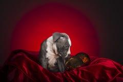 Αμερικανικό κουτάβι Pitbull Στοκ Φωτογραφίες