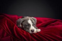 Αμερικανικό κουτάβι Pitbull Στοκ Εικόνες