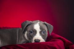 Αμερικανικό κουτάβι Pitbull Στοκ φωτογραφίες με δικαίωμα ελεύθερης χρήσης