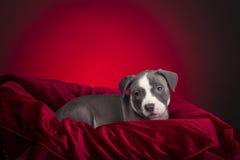 Αμερικανικό κουτάβι Pitbull Στοκ Φωτογραφία
