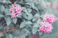 Αμερικανικό λουλούδι ομορφιάς, ρόδινο ruspolia Στοκ εικόνες με δικαίωμα ελεύθερης χρήσης