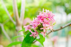 Αμερικανικό λουλούδι ομορφιάς, ρόδινο ruspolia Στοκ Φωτογραφίες