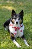 αμερικανικό μαντίλι υπερηφάνειας σημαιών σκυλιών κορδελών στοκ εικόνα