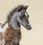Αμερικανικό μικροσκοπικό ασημένιο παρδαλό foal κόλπων Στοκ Φωτογραφία