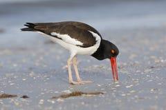 Αμερικανικό να προμηθεύσει με ζωοτροφές νεροκοτών σε μια παραλία - Κομητεία Πινέλλας, ΛΦ Στοκ Φωτογραφία