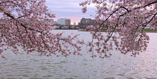 Αμερικανικό πανόραμα που πλαισιώνεται κύριο από τα ανθίζοντας λουλούδια των δέντρων κερασιών στοκ φωτογραφία με δικαίωμα ελεύθερης χρήσης