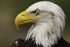 Αμερικανικό πορτρέτο αετών Στοκ Εικόνες