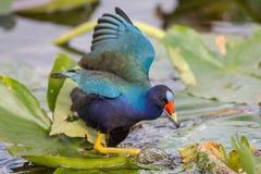 Αμερικανικό πορφυρό gallinule, ίχνος Anhinga, εθνικό πάρκο Everglades Στοκ Φωτογραφίες