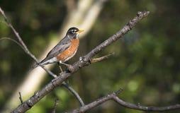 Αμερικανικό πουλί της Robin που σκαρφαλώνει σε ένα δέντρο στη Γεωργία στοκ εικόνες
