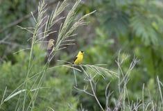 Αμερικανικό πουλί Goldfinch, κομητεία Walton, Γεωργία ΗΠΑ Στοκ Εικόνες