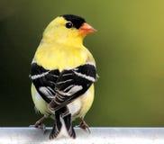αμερικανικό πουλί goldfinch στοκ εικόνα