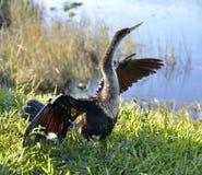Αμερικανικό πουλί Anhinga Στοκ Φωτογραφία