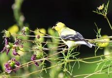 αμερικανικό πουλί goldfinch στοκ φωτογραφία με δικαίωμα ελεύθερης χρήσης