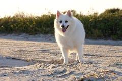 αμερικανικό σκυλί Εσκιμ Στοκ Εικόνες