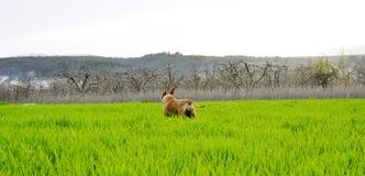 Αμερικανικό σκυλί τεριέ Staffordshire που στέκεται στον τομέα σίτου Στοκ Φωτογραφίες