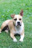 Αμερικανικό σκυλί τεριέ Staffordshire που στηρίζεται σε μια χλόη Στοκ Εικόνα