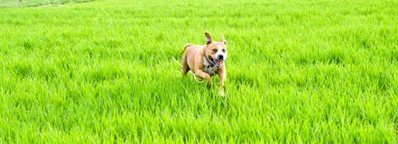 Αμερικανικό σκυλί τεριέ Staffordshire που τρέχει στον τομέα σίτου Στοκ Εικόνες