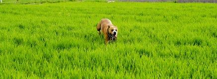 Αμερικανικό σκυλί τεριέ Staffordshire που τρέχει στον τομέα σίτου Στοκ Φωτογραφία